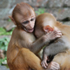 Les bébés singes