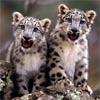 Les bébés tigres